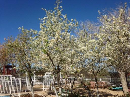flowering pears