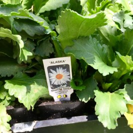 Nursery Plants for Arizona Bees—Daisies