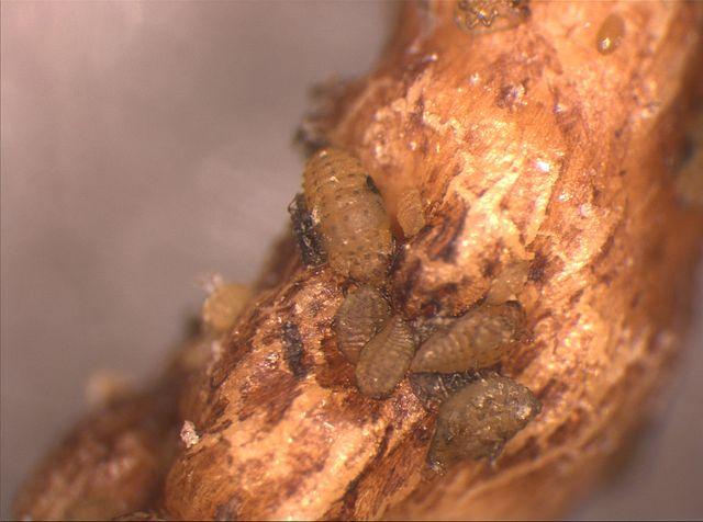 Feeding Phylloxera. Photo: Joachim Schmid, Fachgebiet Rebenzüchtung und Rebenveredlung Forschungsanstalt Geisenheim.