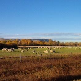 Sheep herd Eastern MT Oct