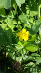 Common Wood Sorrel Flower