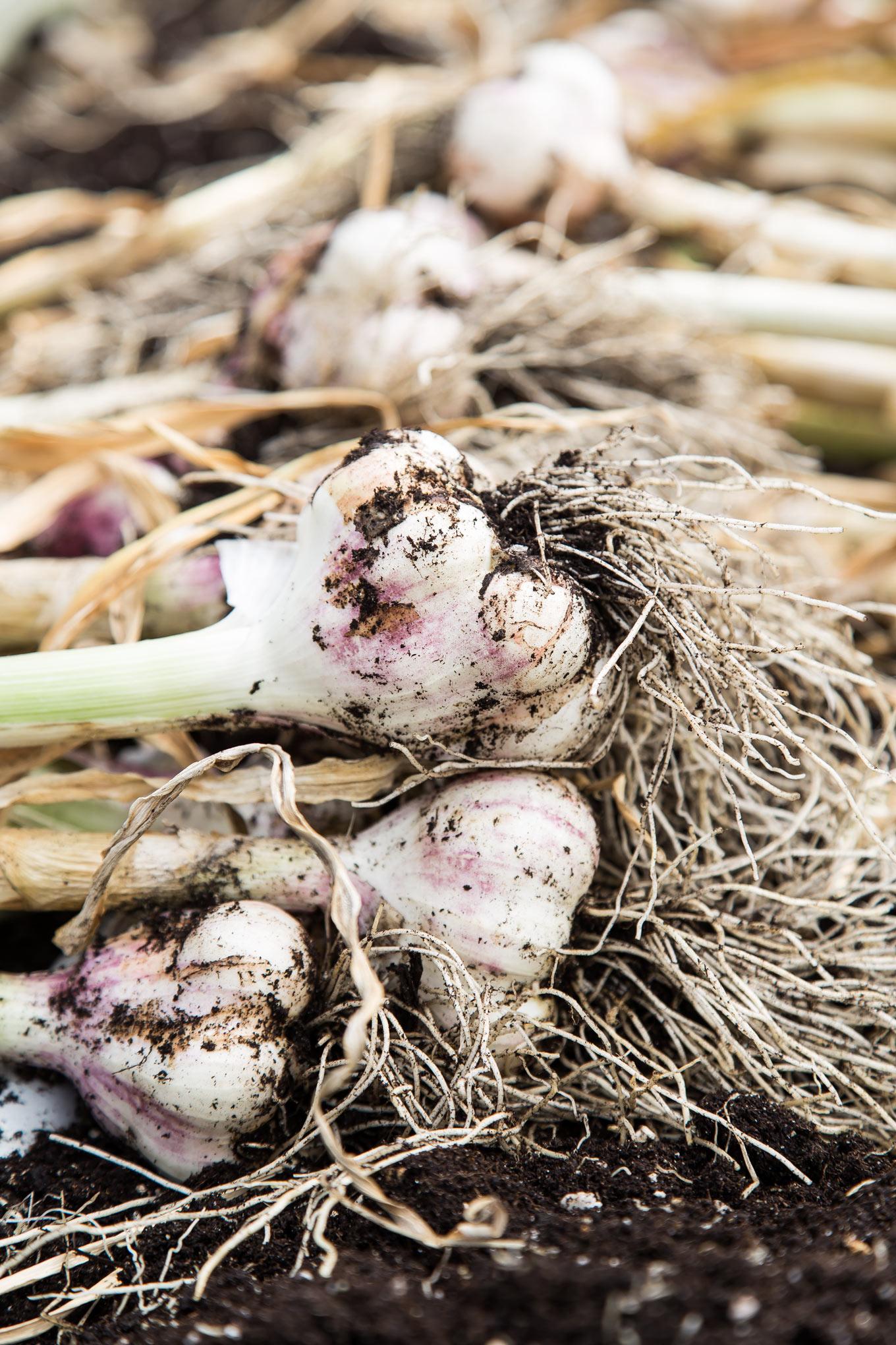 Purple Check Garlic Bulb