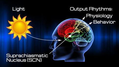 Suprachiasmatic Nucleus controls circadian rhythms