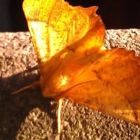 Not a leaf, a moth!