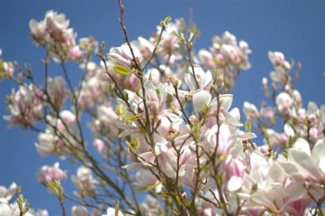 Inspriationskilden, som Felix sendte ud: billedet af blomtrende magnolier. Indbegrebet af forår.