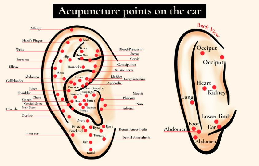reflex zones on the ear. acupuncture points on the ear. map of acupuncture points