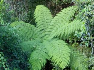 Rainforest Ferns at Dorrigo