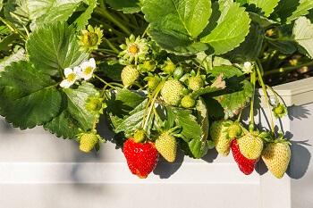 Erdbeeren im Hochbeet anpflanzen
