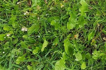 Langen Rasen richtig mähen
