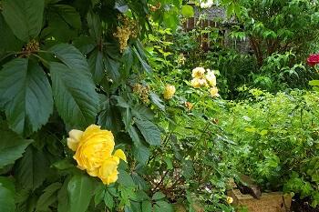 Rosen richtig pflanzen im Garten