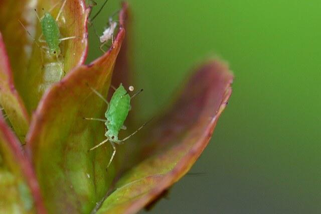 Blattlaus, Schädling, Insekt