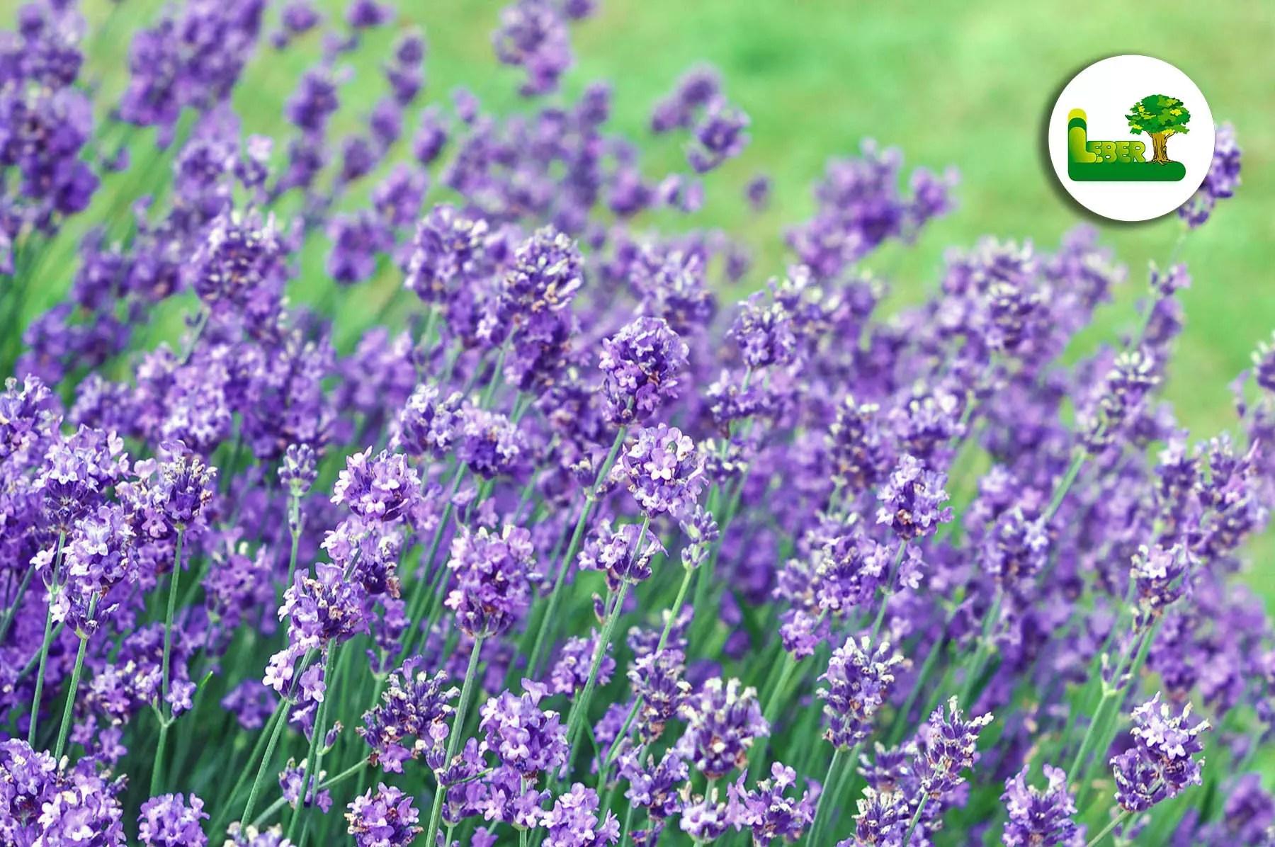 Gemeinsame Lavendel im Garten. Erfahren Sie alles. » Garten Leber Blog #GU_47