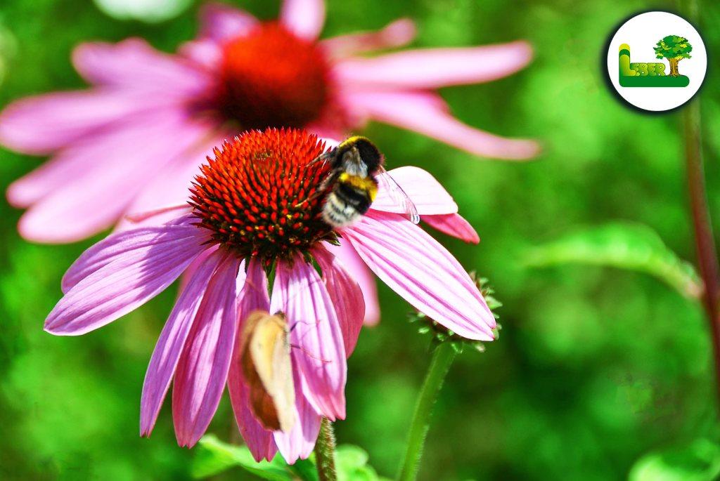 Der rote Sonnenhut mit einer Biene. Generell zieht die Pflanze sehr viele Insekten, Bienen und Hummeln an, aufgrund ihrer wirklich prächtigen, intensiven und lebendigen Farbenpracht der Blüten.  Ihr Profi für naturnahe Gärten. Ihr Garten Leber Team aus der Steiermark. (Jagerberg / Graz / Leibnitz / Gleisdorf / Hartberg)