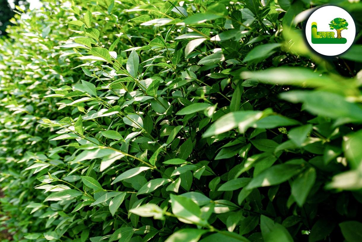 Liguster Hecke Infos Bilder Kaufen Und Vieles Mehr Garten