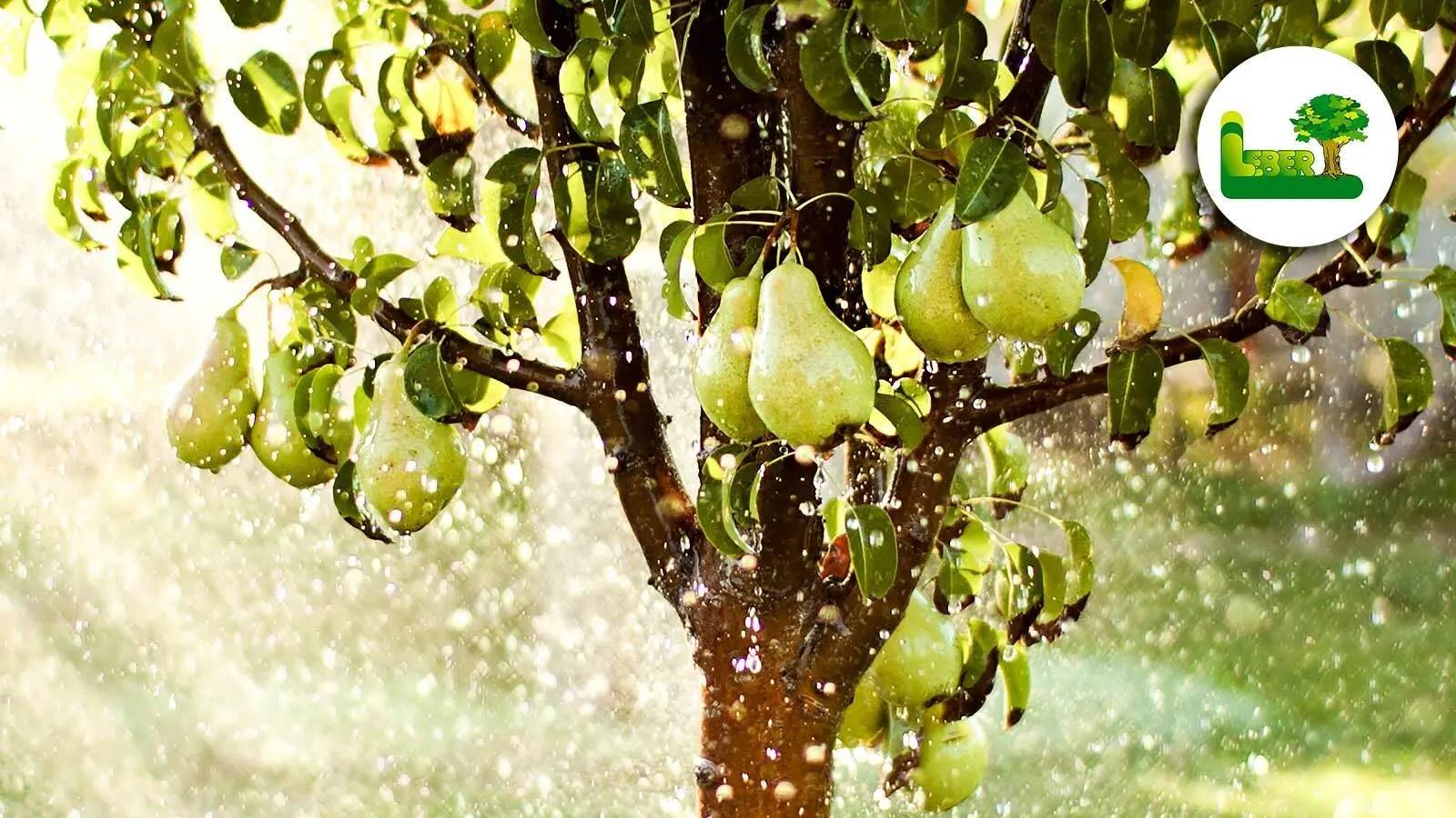 """Birnbaum im Garten """"Pyrus communis"""" - Garten Leber Steiermark."""
