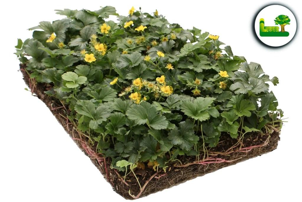 So sehen die Blüten der Golderdbeeren aus. Bodendeckermatte Steiermark von Covergreen®.