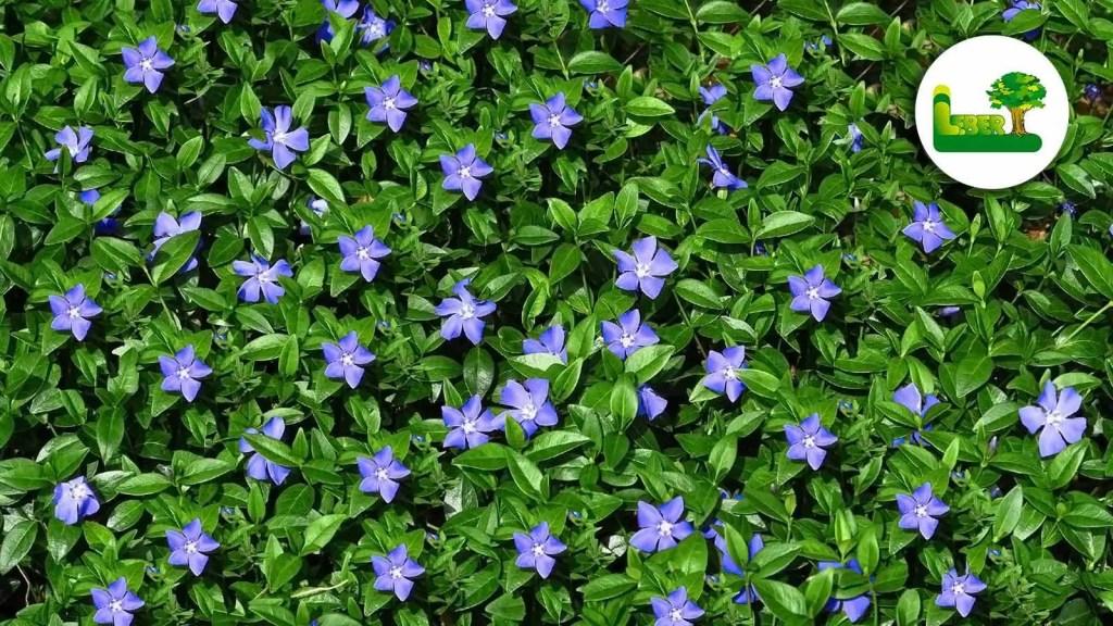 Kleine Immergrün, auch botanisch Vinca minor genannt, ist ein beliebter Bodendecker in der Steiermark.   Bekannt für ihre wunderschönen Blüten im April bis Mai.