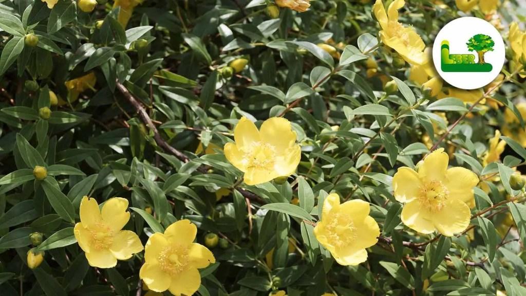 Kriechendes Johanniskraut, auch Hypericum calycinum genannt. Wunderschön blühender Bodendecker.