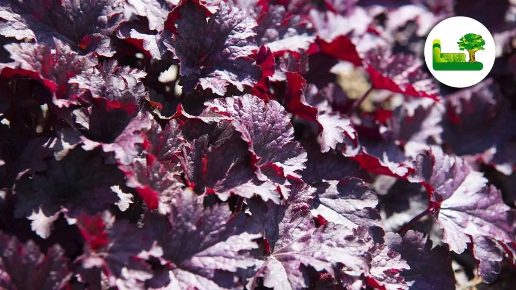 Purpurglöckchen werden botanisch auch als Heuchera micrantha place purple bezeichnet. Sie sind breitbuschig, horstig und werden ungefähr 40 Zentimter hoch.