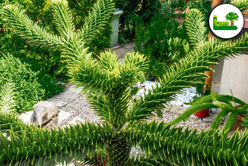 Der Affenschwanzbaum - Klein