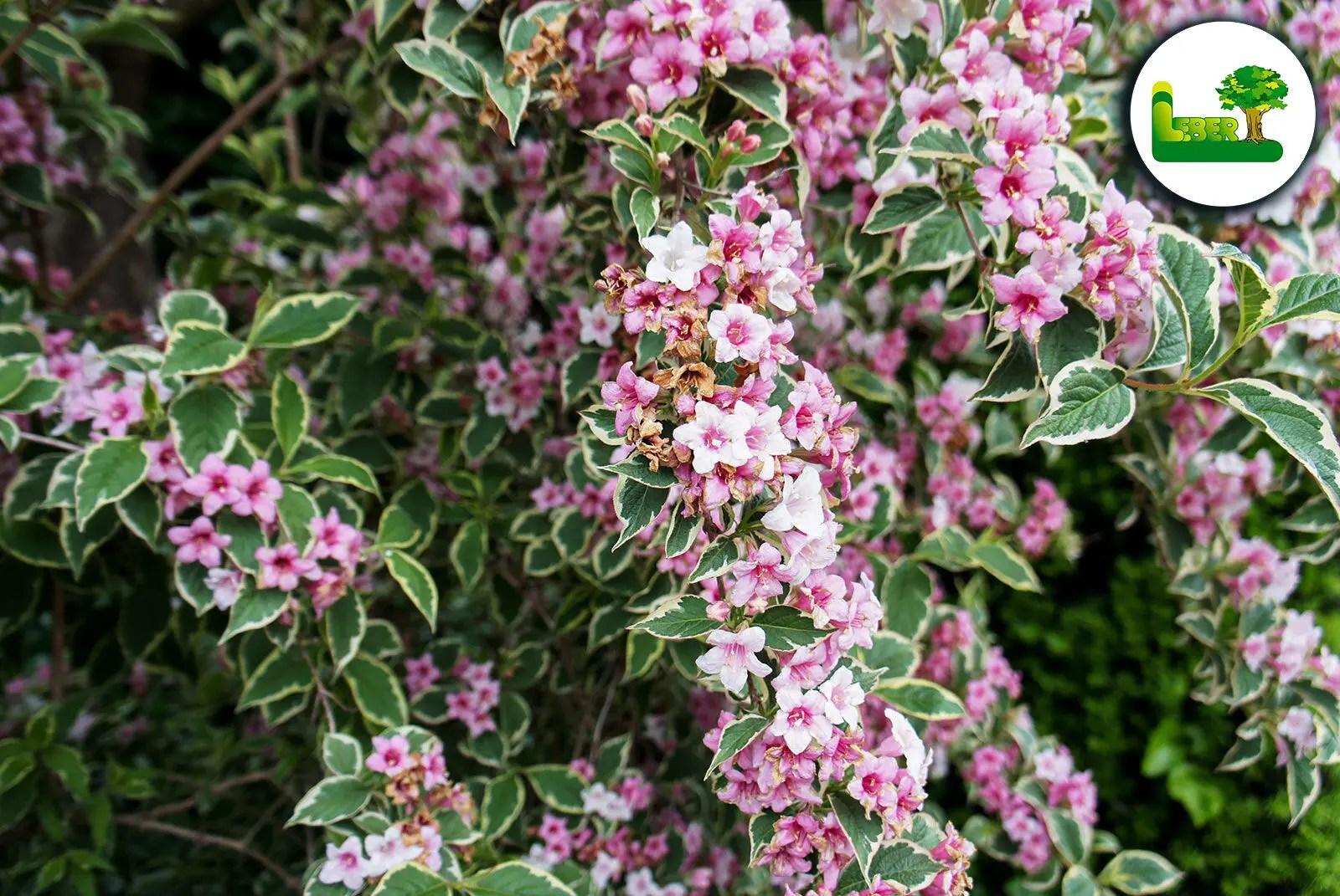 Weigelie im Garten Steiermark. Weigela florida mit Blüten