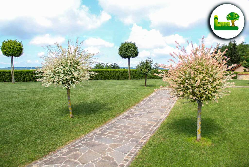 Harlekinweide als gruppierte Bepflanzung im Garten. Garten Leber Steiermark (Jagerberg, Leibnitz, Graz). Foto bei schönem Wetter.