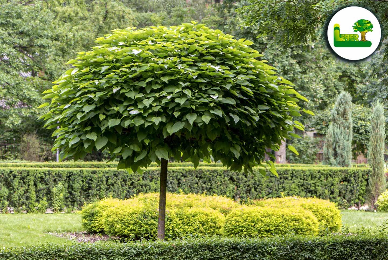 Kugeltrompetenbaum - Catalpa Bignonioides Nana - Einfach einzigartig