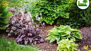 Purpurglöckchen im Garten.