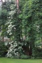 Kletterhortensie wächst die Kiefer hoch