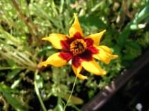 Achte schmal zulaufende Blütenblätter, die im Inneren einen roten Kern bilden.