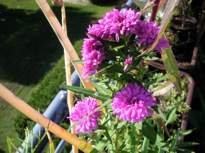 Kleine Blütenblätte in einem lila Blütenball
