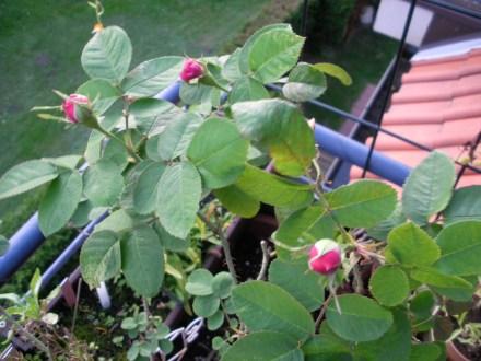 Drei rose-farbende Blütenknospen an einer Rose.