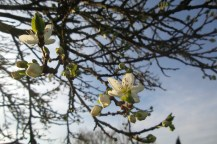 Weiße Blüten an einem ansonsten kahlen Baum.