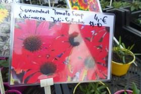 """Fotografie mit roten Blüten und der Aufschrift """"Sonnenhut Tomato Soup Echinacea Juli-September Sonne, Halbschatten 4,-€"""""""