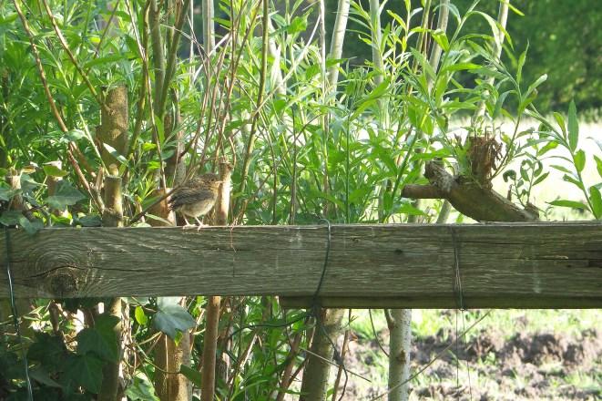Kleiner brauner Vogel auf einem Holzaunbalken vor dichten Weiden