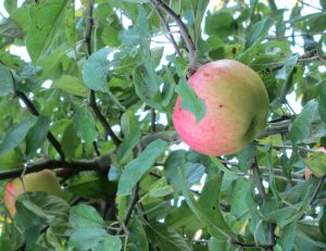 pfückreifer Apfel