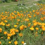 Wild Flower Cultivation