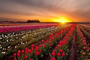 Tulips Willamette Valley Oregon