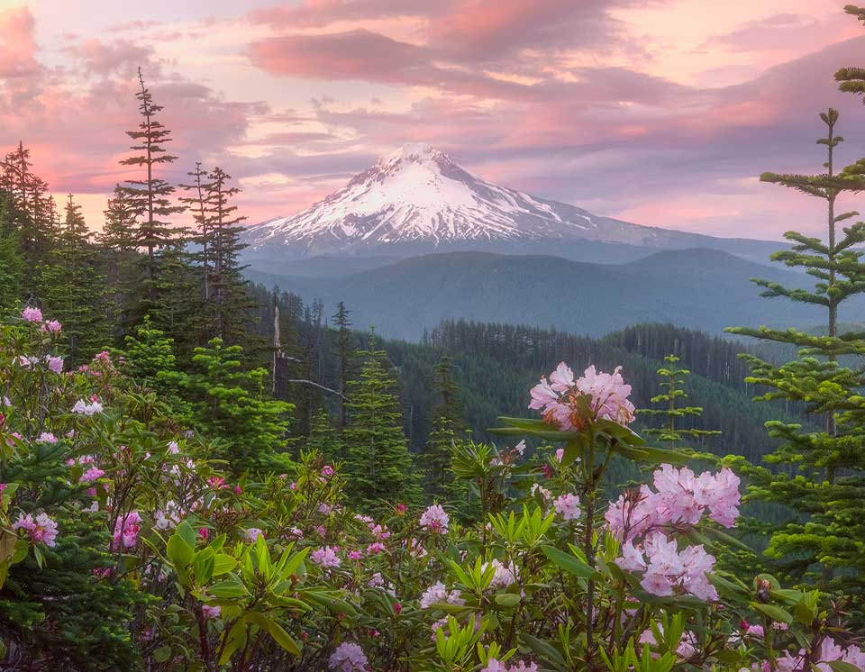 Mt Hood Rhododendrons Oregon