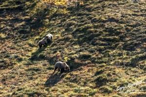 Denali Bears