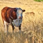 Cow near Lake Ginninderra Gary Lum
