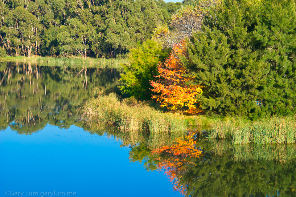 Autumn leaves on Lake Ginninderra Reflections Gary Lum