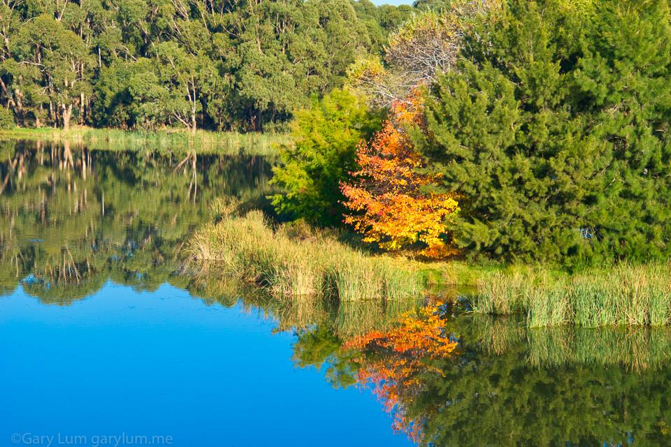 Autumn leaves on Lake Ginninderra Reflections Gary Lum