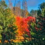 Autumn leaves framed by green on Lake Ginninderra Gary Lum