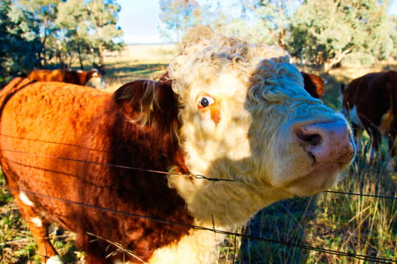 A close up of a Lake Ginninderra cow Gary Lum