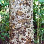 Queensland Kauri Pine bark pattern