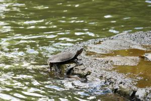 Turtle at Paronella Park