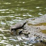 Turtle at Paronella Park