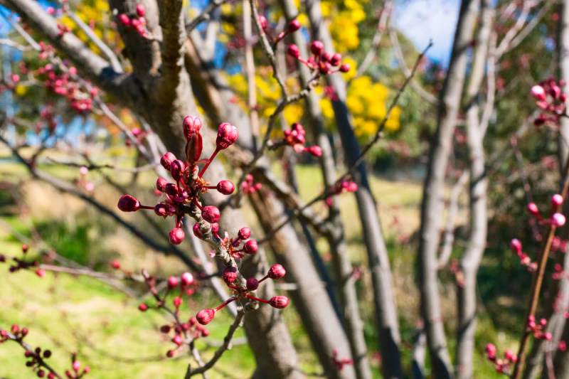 Spring is coming! Cherry blossom buds. Gary Lum