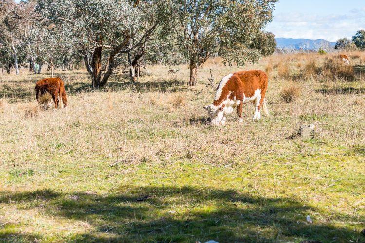 Cows Gary Lum